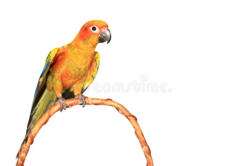 美丽的五颜六色的鹦鹉,太阳conure长尾小鹦鹉在白色背景的Aratinga solstitialis 免版税库存图片