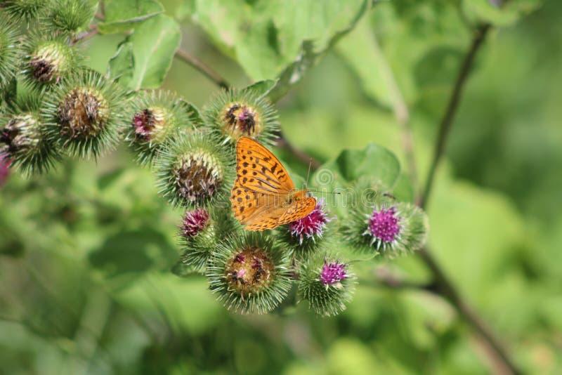 美丽的五颜六色的蝴蝶在草甸银洗涤了在开花的蓟的贝母 夏日,被弄脏的背景 免版税库存图片