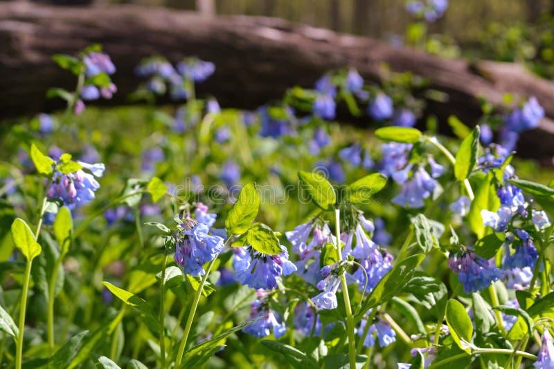 美丽的会开蓝色钟形花的草 免版税图库摄影