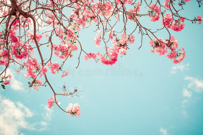 美丽的佐仓花樱花在春天 库存图片