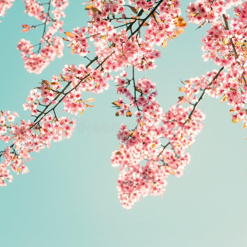 美丽的佐仓桃红色花在春天 免版税库存照片
