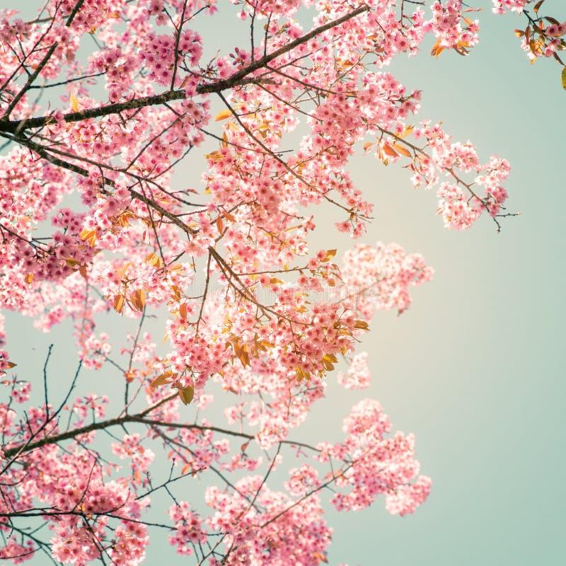 美丽的佐仓桃红色花在春天 免版税库存图片