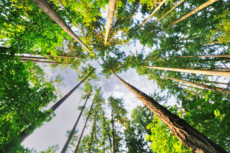 美丽的俄勒冈高大的树木 库存照片