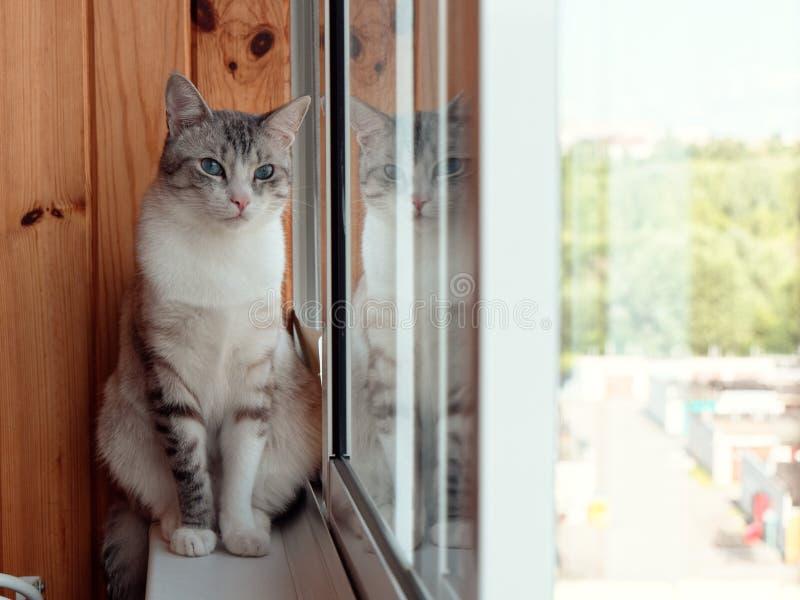 美丽的俄国欧洲猫坐窗台 库存照片