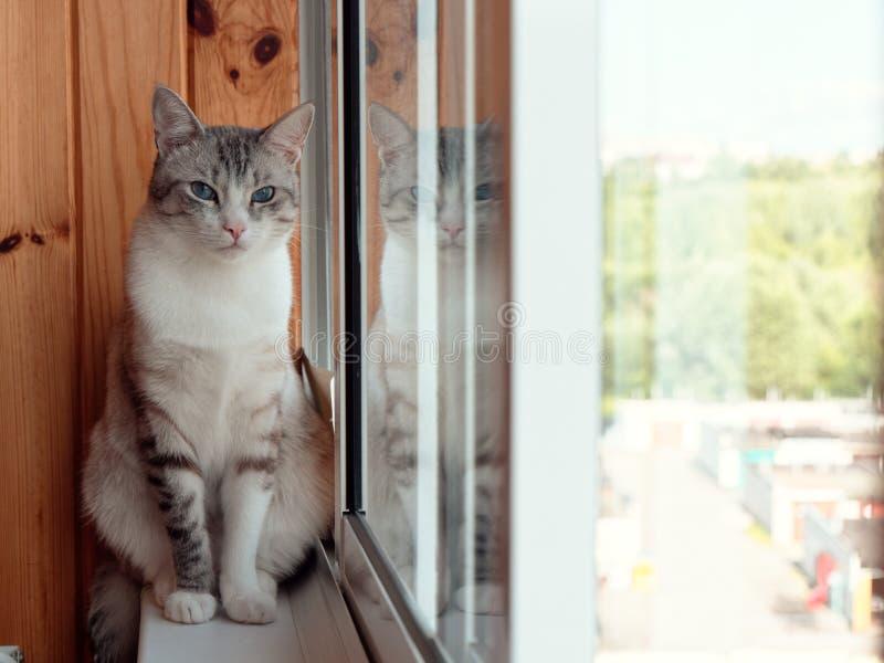 美丽的俄国欧洲猫坐窗台 免版税库存图片