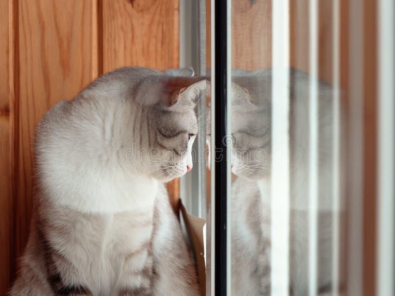 美丽的俄国欧洲猫坐窗台 免版税图库摄影