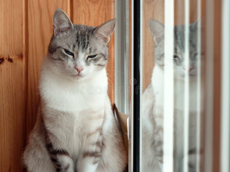 美丽的俄国欧洲猫坐窗台 库存图片