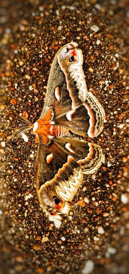 美丽的充满活力的色的飞蛾户外在春天期间在得克萨斯 免版税库存图片