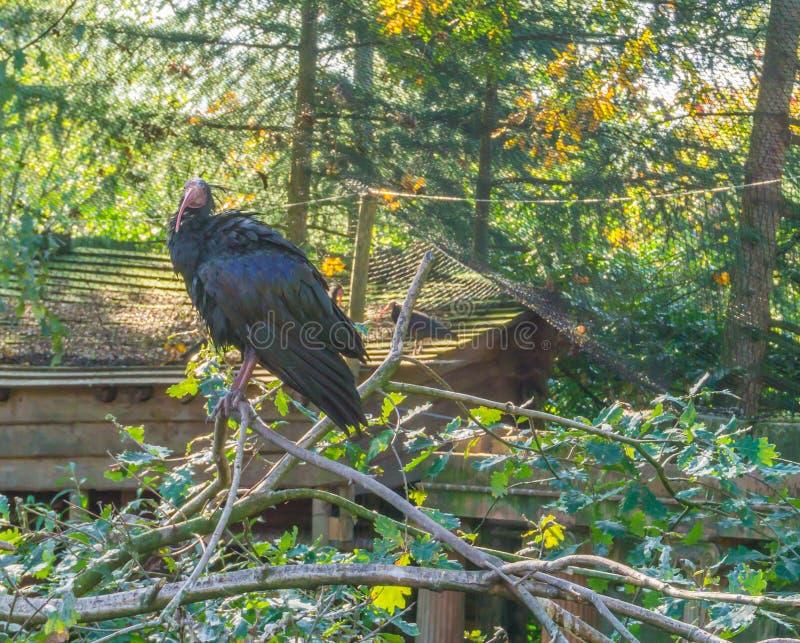 美丽的光滑的黑人秃头北隐士朱鹭在树坐分支美丽的危险的沙漠鸟画象 库存照片