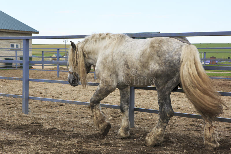 美丽的公马灰色衣服品种Percheron 库存照片