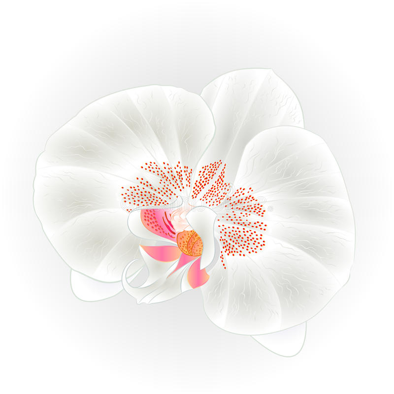 美丽的兰花白色兰花植物, Dendrobiumflower特写镜头被隔绝的葡萄酒手凹道传染媒介 皇族释放例证