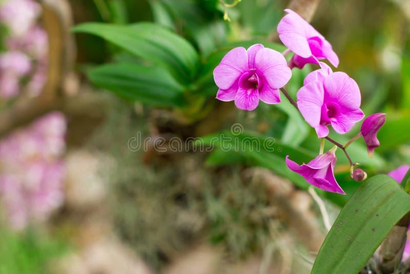 美丽的兰花花,在桃红色兰花的紫色兰花 在抽象春天自然背景的花 库存图片