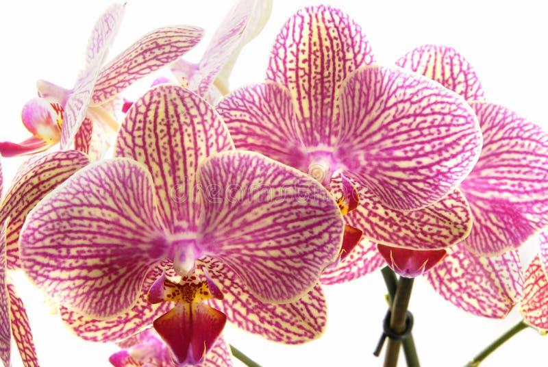 美丽的兰花 库存照片