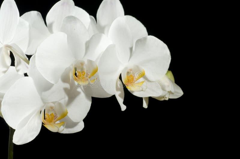 美丽的兰花 免版税图库摄影