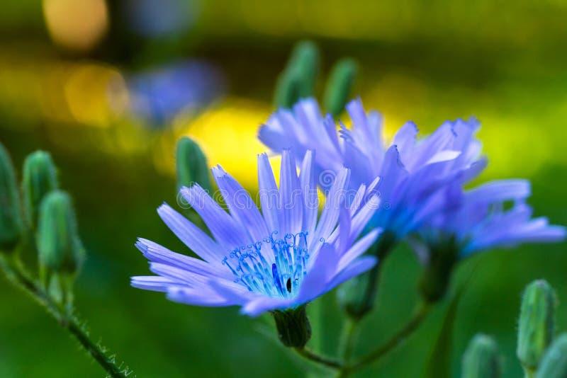 美丽的共同的蓝色苣苦菜 库存照片