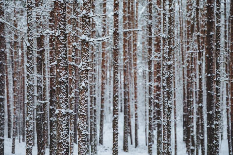 美丽的冬天森林,用雪盖的高树室外射击  冬天风景水平的射击  迷人的沈默majest 免版税库存图片