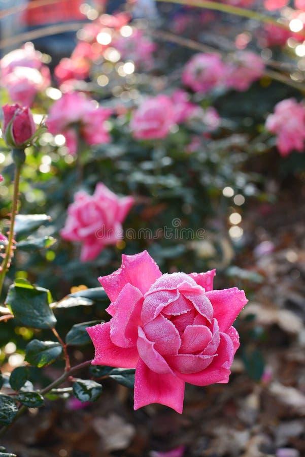 美丽的冷淡的桃红色玫瑰在庭院里 免版税库存照片