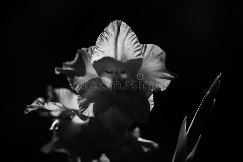 美丽的剑兰花 库存照片
