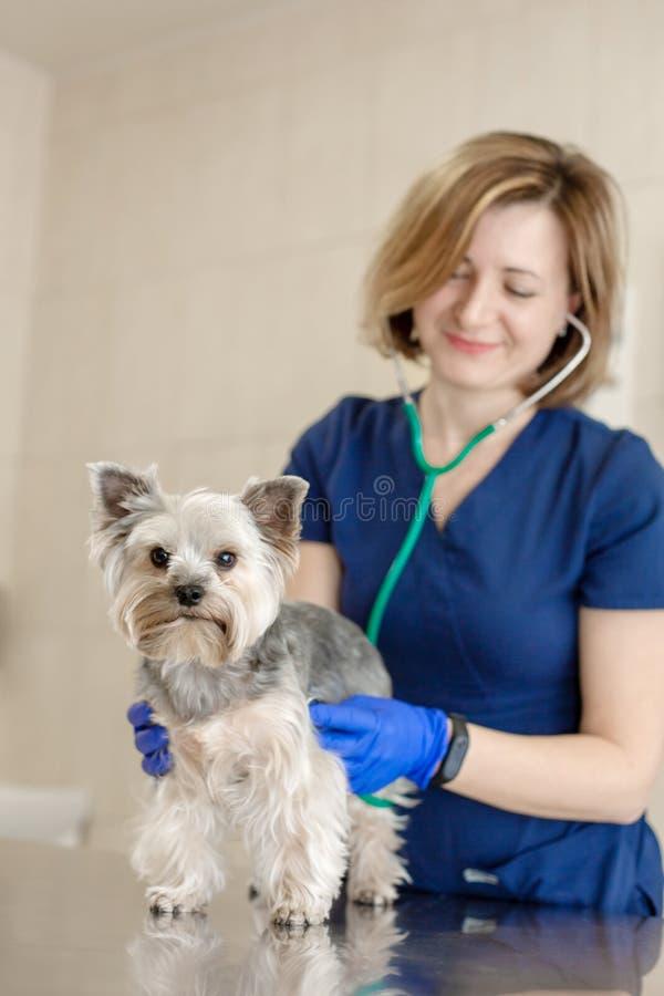 美丽的医生治疗与一个听诊器的小逗人喜爱的狗品种约克夏狗在一个兽医诊所 nHappy狗 库存图片
