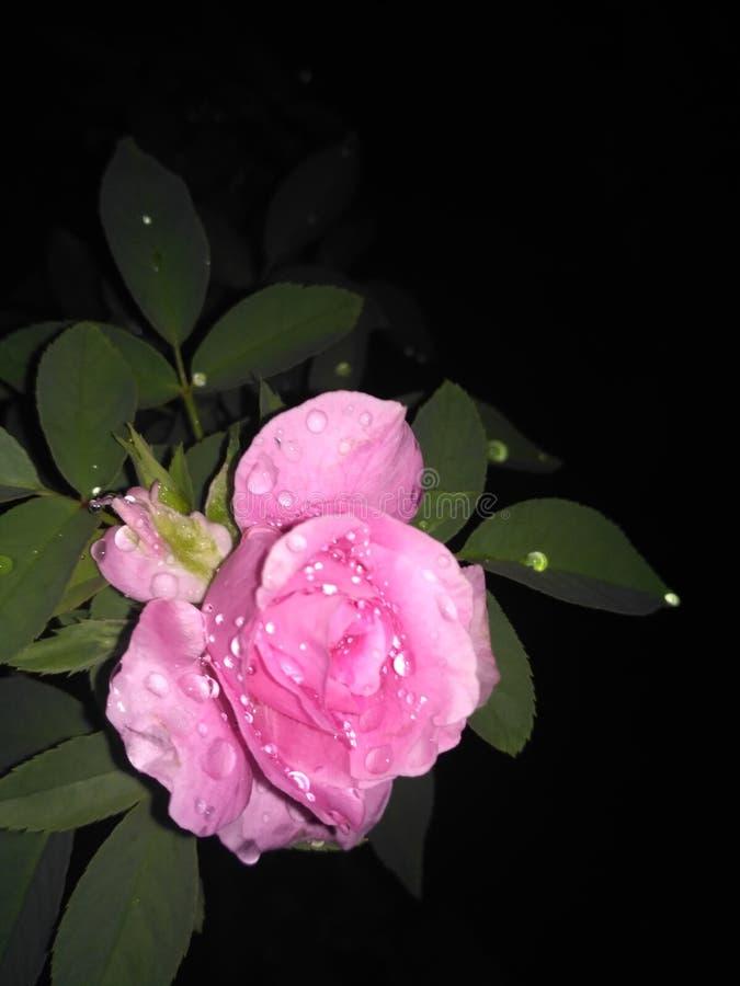 美丽的华美的雄伟桃红色玫瑰 免版税库存图片