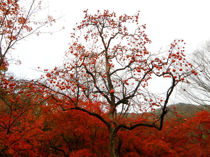 美丽的卓有成效的树和红色秋叶在山腰 免版税库存图片