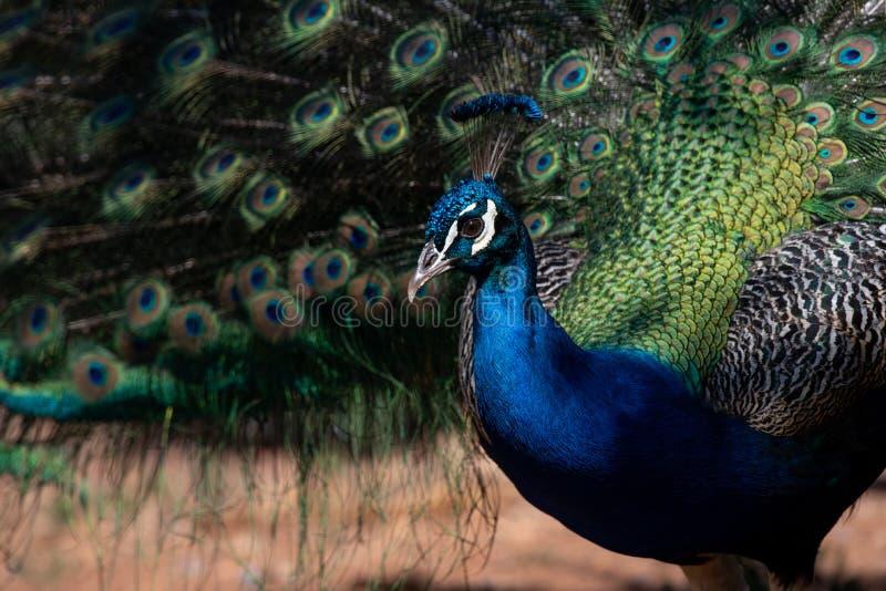 美丽的印地安孔雀-孔雀座cristatus -公鸟 免版税图库摄影