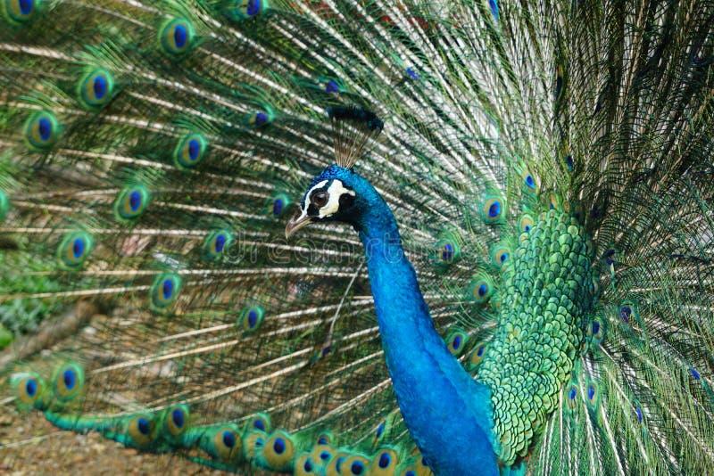 美丽的印地安孔雀 免版税库存图片