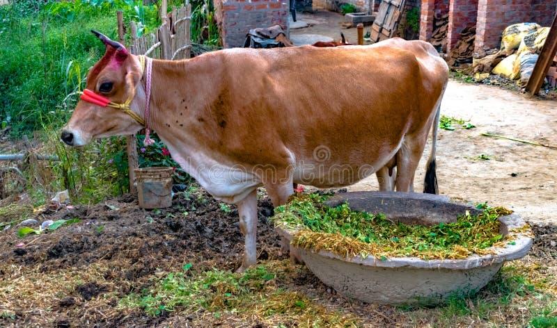 美丽的印度品种母牛,棕色在颜色,驯化为挤奶目的,在和平吃完饲料反刍 免版税库存照片