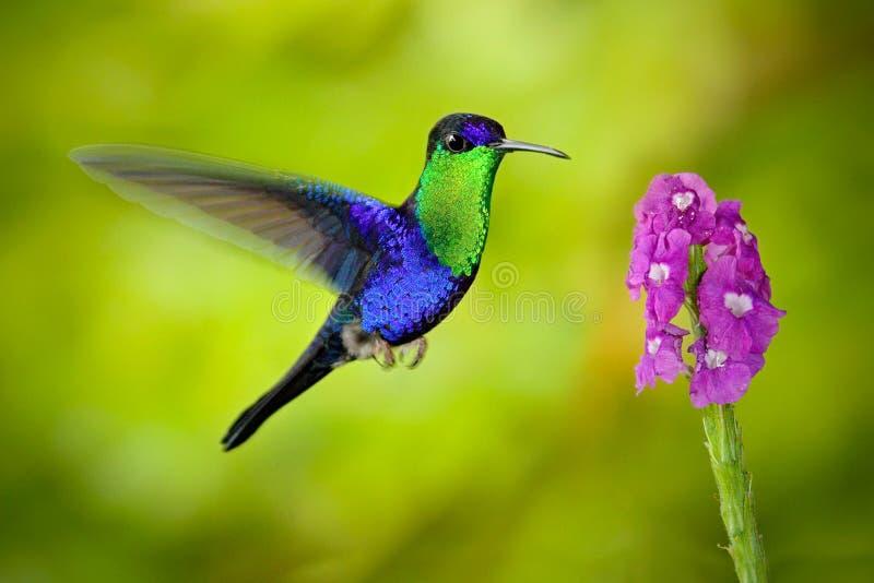 美丽的发光的热带绿色和蓝色鸟,被加冠的Woodnymp, Thalurania colombica,飞行的下位tu变粉红色绽放花,光滑的生命 图库摄影