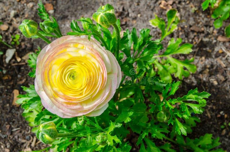 美丽的可爱的黄色和桃红色毛茛属或毛茛在百年公园,悉尼,澳大利亚开花 库存图片