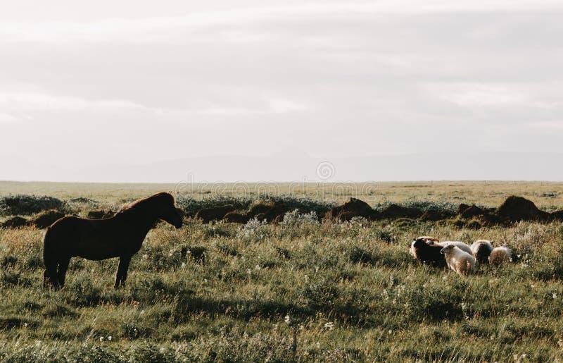 美丽的吃草在绿色牧场地的马和绵羊 免版税库存图片