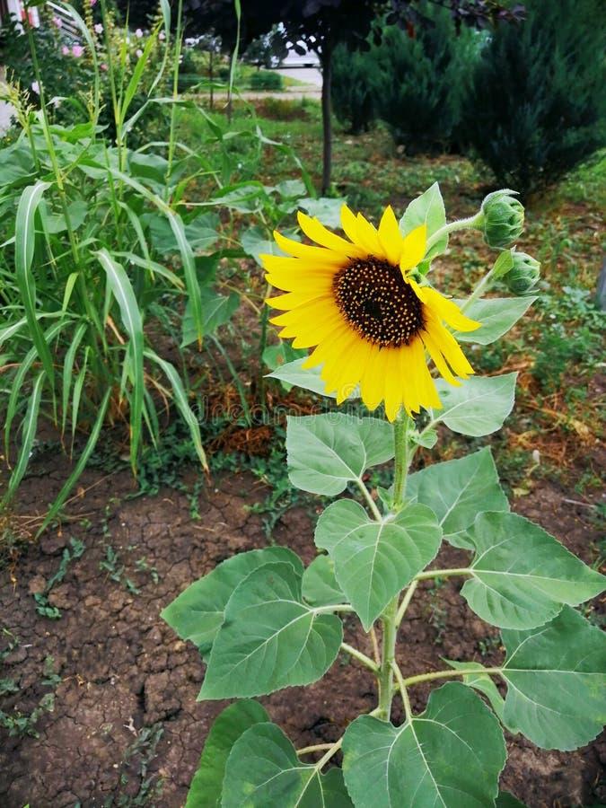美丽的向日葵在夏天在花床上 库存图片