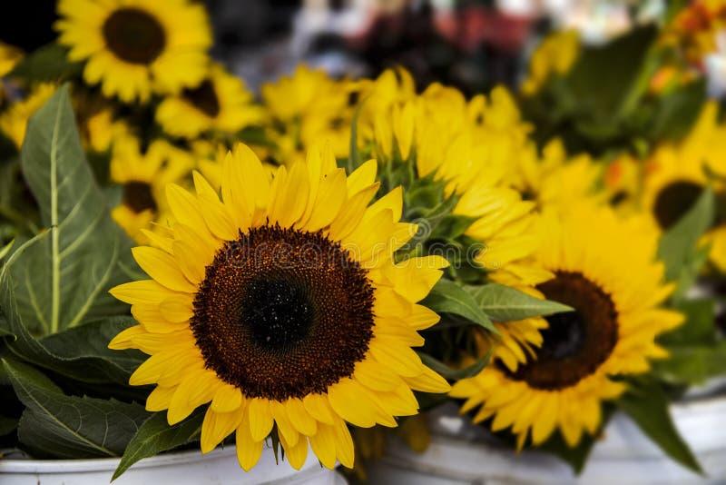 美丽的向日葵特写镜头在白色桶的在农夫市场上用后边被弄脏的向日葵 库存图片