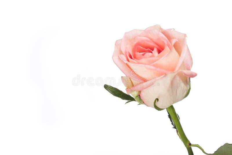 美丽的唯一桃红色玫瑰 免版税图库摄影