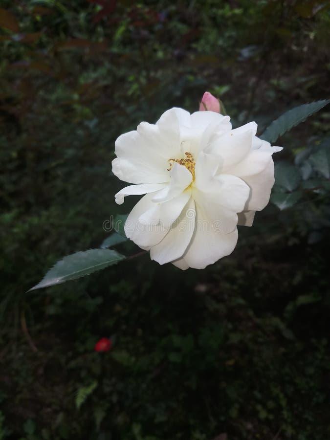 美丽的唯一红色玫瑰印度庭院 库存图片