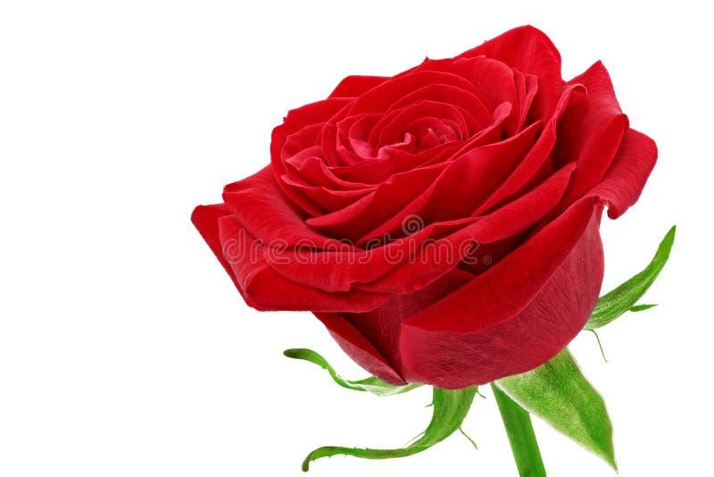 美丽的唯一红色玫瑰花。隔绝。 免版税库存照片