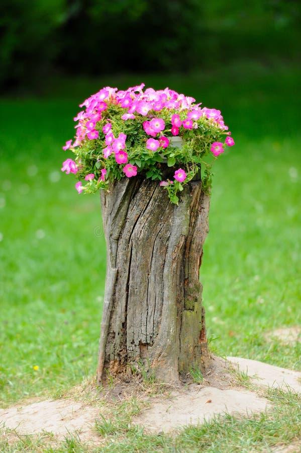 美丽的喇叭花花增长 免版税库存照片
