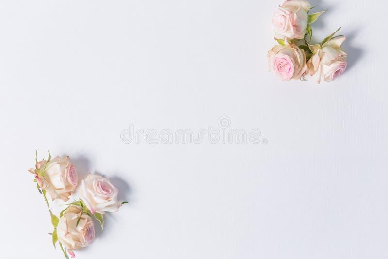 美丽的在白色背景的花桃红色浪花玫瑰在照片的角落,与标签,特写镜头,顶视图 图库摄影