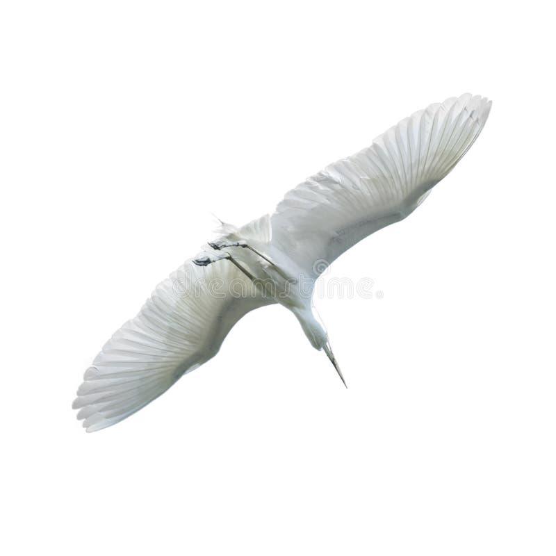 美丽的在白色b隔绝的天空的白鹭美好的白色鸟飞行 库存图片