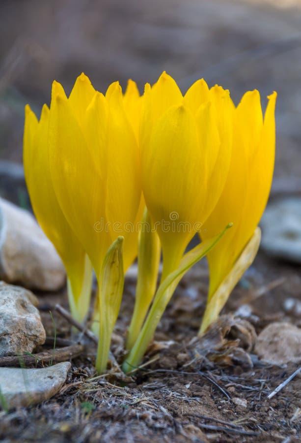 美丽的在盛开的Sternbergia clusiana野花 免版税库存图片