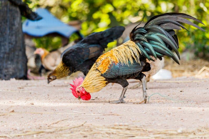 世界上男人最大的鸡儿_美丽的在自然背景的雄鸡男性鸡