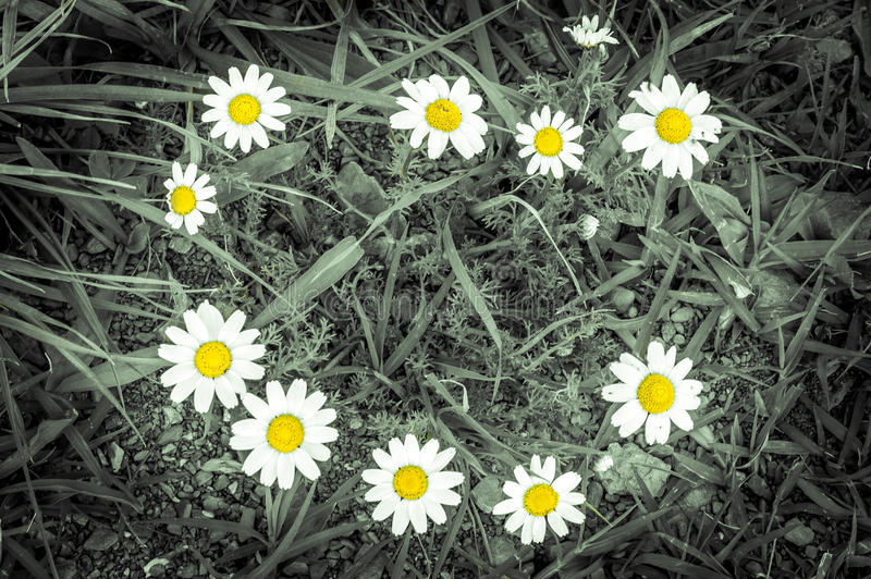 美丽的夏天春黄菊照片  免版税图库摄影
