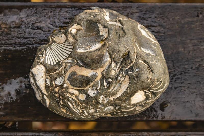 美丽的多化石岩石特写镜头坐湿木头 库存照片
