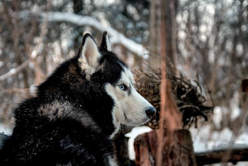 美丽的多壳的狗看  图库摄影
