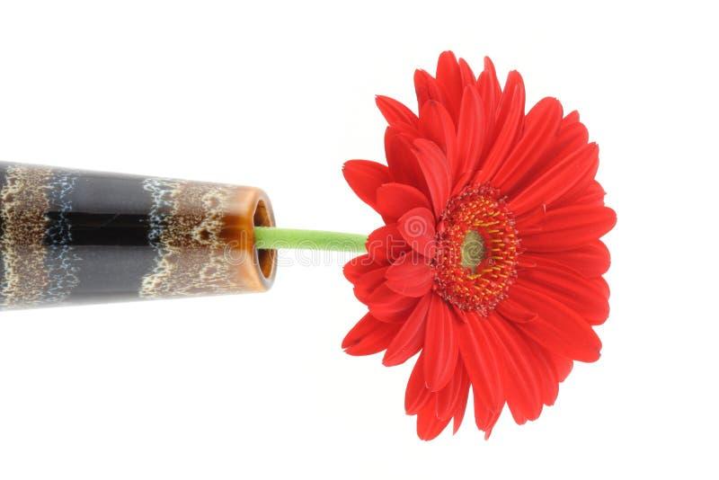 美丽的大丁草红色花瓶 免版税库存照片