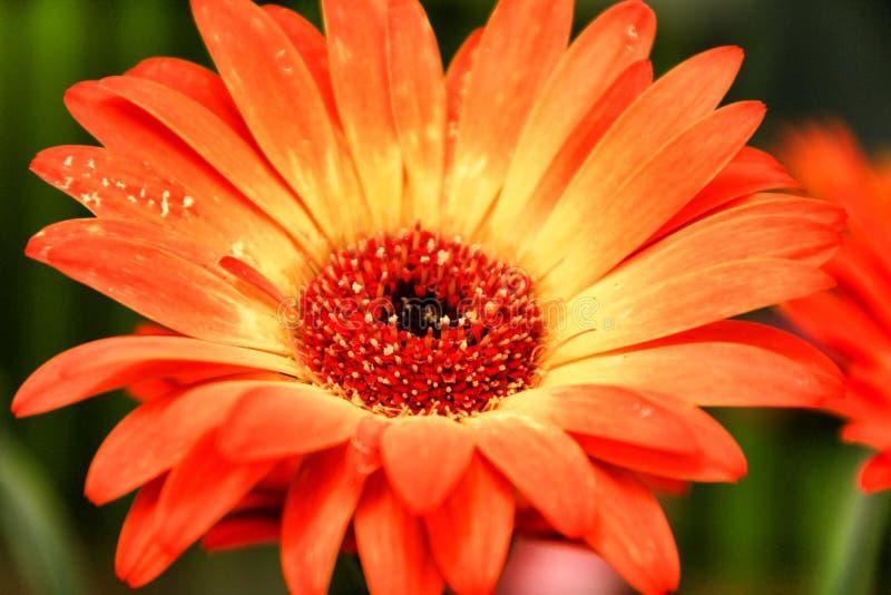 美丽的大丁草花在庭院里 免版税库存照片