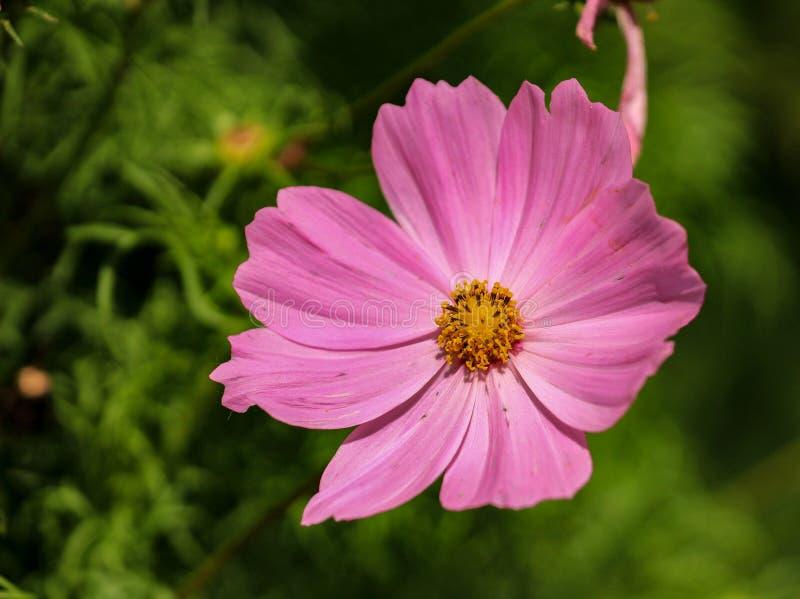 美丽的大桃红色波斯菊花 库存图片