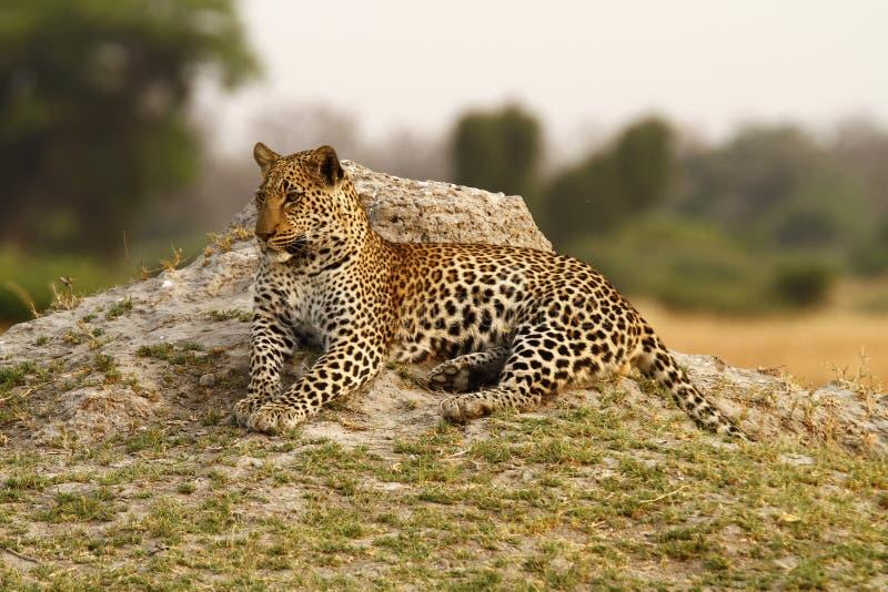 美丽的大汤姆豹子 库存图片