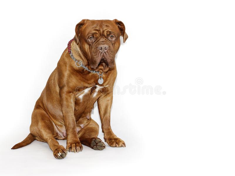 美丽的大狗- Dogue de Bordeaux -法国大型猛犬 免版税图库摄影