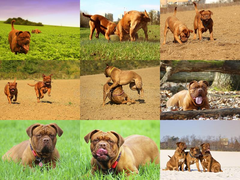 美丽的大狗- Dogue de Bordeaux -法国大型猛犬 免版税库存照片